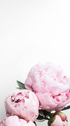 Peonies iPhone wallp