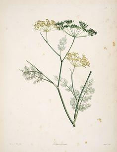 Gravures botanique Rousseau - 161 anethum foeniculum - aneth fenouille.