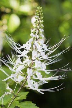 "How To Grow A Cat Whiskers Plant: Growing Cat Whiskers In Gardens - You don't have to be a feline fan to grow a cat whiskers plant. Care for this herbaceous perennial is truly a snap and the unusual white ""whisker"" stamens grab attention in any garden. Read on to learn more about this plant."