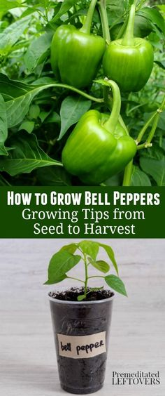 How to Grow Green Bell Peppers in your vegetable garden: how to start bell peppers from seeds, how to plant green bell pepper seedlings, and how to care for bell pepper seedlings. How to Grow Green Bell Pepper Growing Green Peppers, Growing Greens, Growing Veggies, Green Bell Peppers, Stuffed Green Peppers, Container Gardening Vegetables, Fruits And Vegetables, How To Grow Vegetables, Vegetables Garden