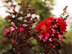 Black Diamond Crape Myrtles have bright red flower and black leaves which makes an excellent accent piece to landscapes around Dallas, Texas. Myrtle Tree, Powdery Mildew, Black Leaves, Dallas Texas, Flower Beds, Red Flowers, Black Diamond, Garden Landscaping, Shrubs