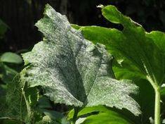 Low Growing Shrubs, Growing Plants, Home Vegetable Garden, Herb Garden, Green Garden, Organic Gardening, Gardening Tips, Christmas Trees For Kids, Container Gardening Vegetables