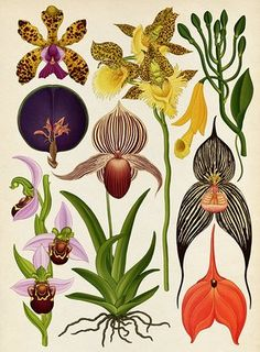 Botanicum - Orchids