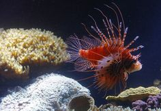 A red lionfish (Pterois volitans) swims in the aquarium of the Schonbrunn zoo in the gardens of the Schoenbrunn Palace in Vienna on October 16, 2012. The red lionfish is a venomous coral fish.