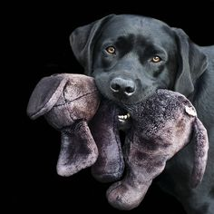 Mind Blowing Facts About Labrador Retrievers And Ideas. Amazing Facts About Labrador Retrievers And Ideas. Labrador Retrievers, Golden Retrievers, Labrador Noir, Black Labrador, Black Labs, Baby Dogs, Pet Dogs, Dog Cat, Doggies