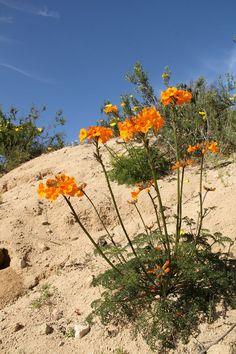 Parque Nacional Llanos de Challe, ubicado a 45 kilómetros al norte de Huasco,...del famoso desierto florido. Un fenómeno que produce en el Desierto de Atacama durante los meses de septiembre y noviembre, cuando las precipitaciones están por sobre el rango normal para la zona, haciendo germinar una gran cantidad de semillas y bulbos que se encuentran en estado de latencia, acompañado de la proliferación de insectos, aves y pequeños lagartos.