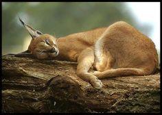 Baby Caracal Lynx!
