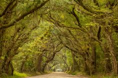 Lowcountry dirt road lined with oak trees in South Carolina. The vertical version has been shared in the past, but the horizontal is better formatted for electronic screens. It also shows off the density of the oaks that surround this peaceful road.  Day #37 of 50 new images http://brianwdowns.com/ http://www.facebook.com/brianwdownsphotography