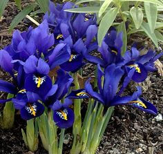 Irises: Associated with death, as Iris was a Greek goddess of the rainbow, which she used to travel down to earth with messages from the gods and to transport women's souls to the underworld. The three upright petals and three drooping sepals are symbols for faith, valor, and wisdom. #Flowers