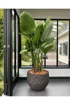 LAVA | Natural Black - NU Puur & Groen Big Leaf Plants, Potted Plants Patio, House Plants Decor, Indoor Plants, Big House Plants, Interior Design Plants, Interior Garden, Palm Trees Landscaping, Decoration Plante