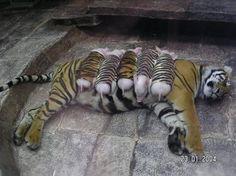 Une tigresse qui s'occupe de 5 petits porcelets !