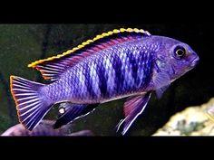 Cichlid Aquarium, Cichlid Fish, Aquarium Fish Tank, Big Aquarium, Fish Tanks, Tropical Freshwater Fish, Tropical Fish, Freshwater Aquarium, Fish Tank Themes