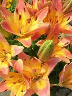 Asiatic Lillies
