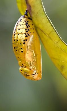 Butterfly chrysalis...... Do you know which one it is?