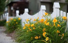 Yellow lilies accent this charming picket fence just in time to greet summer visitors at Gorham's Bluff.