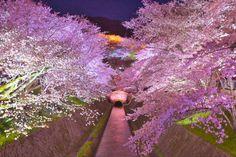 琵琶湖疏水 桜