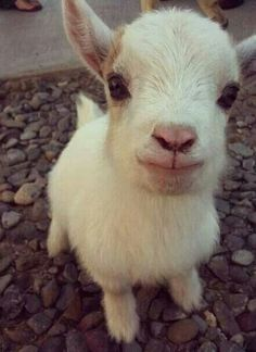 Baby goat:) I wish they stayed that small!