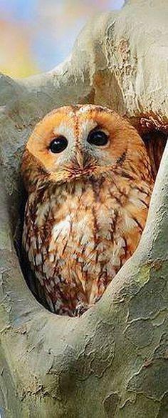 Tawny owl (Strix aluco) by Lorenzo Acebes
