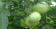 Green Tomatoes: Beyond the Frying Pan Green Tomatoes, Feet Care, Omega 3, Harvest, Vegetables, Fruit, Health, Nature, Nordic Interior