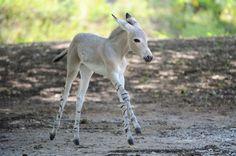 Somali rare wild donkey