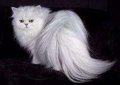 persian cat breed profile - #persian - More Cat Breeds at Catsincare.com!
