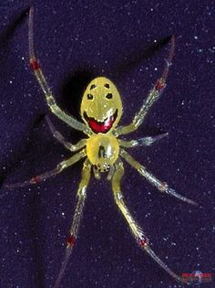This creature has got to be Mother Nature's best gag. It is the theridion grallator, better known as the Hawaiian Happy Face Spider. Scientists can find no evolutionary reason for the bizarre patterns on the littler critter's abdomen Spiders And Snakes, Real Spiders, Large Spiders, Smiling Animals, Beautiful Bugs, Bizarre, Bugs And Insects, Tier Fotos, Mundo Animal
