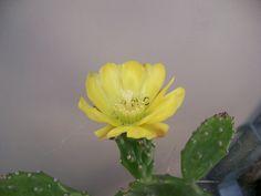 Opuntia en flor