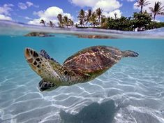 Green Sea Turtle, or in the Hawaiian language, it called a honu. Ancient Hawaiians believed in 'aumakua, family gods that were embodied within an animal. Honus are often seen as a type of 'aumakua.