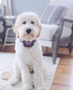 16 New Goldendoodle Haircut Guide Pictures - meowlogy English Goldendoodle, Goldendoodle Haircuts, Goldendoodle Grooming, Dog Haircuts, Australian Labradoodle, Dog Grooming, Goldendoodles, Labradoodles, Cockapoo