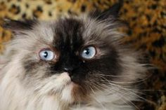 Twinkle is an adoptable Himalayan Cat in Columbus, OH. Hi, I'm a three year old Tortie Point Himalayan who is looking to be your next best friend. My light blue eyes are a bit crossed, but I'm just as...