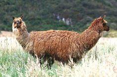 Double lama