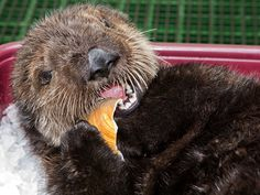 picture of baby sea otter | Photo courtesy of Robin Riggs, Aquarium of the Pacific