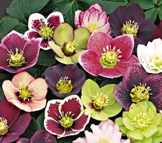 Lenten Rose  Lenten Rose blooms as early as February, with elegant flowers in pink, purple and white colors held above leathery, semi evergreen foliage. Some of the blooms are very detailed and gorgeous up close. Plant out of the wind, preferably with afternoon shade in hot areas. Likes a more fertile soil. Hardy to Zone 5… Mild areas may see these bloom even in late winter!