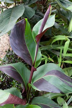 Canna cleopatra chimera - Exotic & Tropical Plants ©Chris Ridley