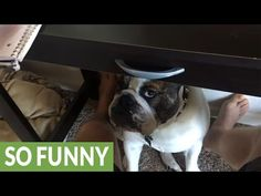 Bulldog begs for attention while owner tries to work http://j.mp/2mYz2s2