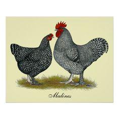 Maline Chickens - Google Search