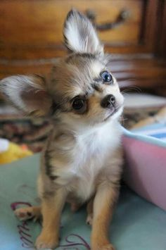 Such a cute fluffy Chihuahua puppy, he looks very attentive  #dog #Chihuahua #puppy #fluffy #cute #smalldog
