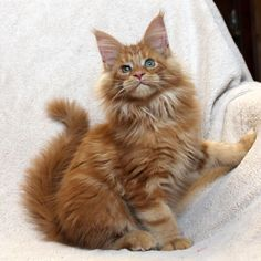 Adorable brown kitty cat - Tap the link now to see all of our cool cat collections! Beautiful Kittens, Pretty Cats, Kittens Cutest, Cats And Kittens, Pics Of Cute Cats, Maine Coon Kittens, Pets 3, Norwegian Forest Cat, Orange Cats