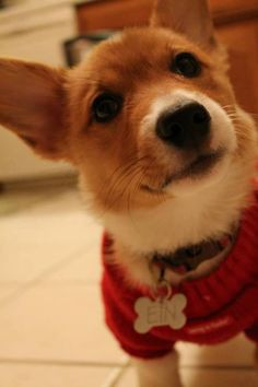 Corgi Ein looks very handsome in his little red sweater (Corgi Amore!)