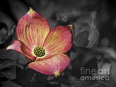 Title: Dogwood Bloom Artist: Ron Roberts Medium: Photograph - Photography