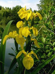 Vijverplanten - oever - gele lis