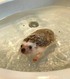 Baby hedgehog, funny hedgehog, like animals, cute baby animals, cute funny animals Like Animals, Cute Little Animals, Cute Funny Animals, Animals And Pets, Cute Dogs, Cute Babies, Baby Hedgehog, Hedgehog Cage, Funny Hedgehog