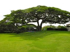 Monkey Pod Tree- these are everywhere in Hawaii!!