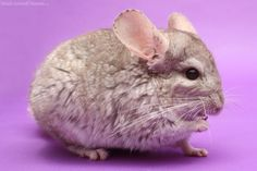 How to Help a Neglected Chinchilla