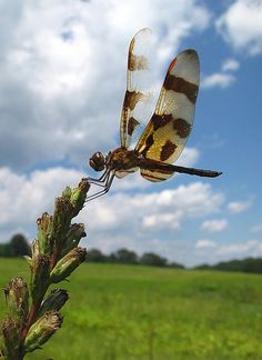 dragonfly in the meadow