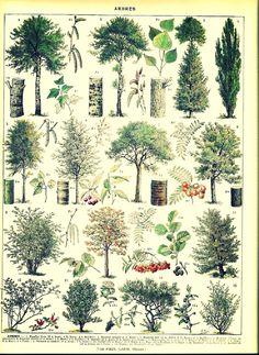 am hoping to score a vintage botanical poster Vintage Botanical Prints, Botanical Drawings, Botanical Art, Illustration Française, Illustration Botanique, Illustrations, Impressions Botaniques, French Colors, Tree Identification