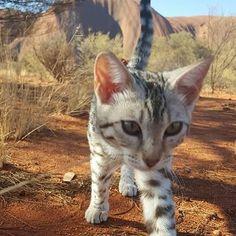 Silver Bengal meets Ayers Rock #cats  #catstagram #catsagram #catsofig  #bengalcat  #bengalcatsofinstagram #cat  #catoftheday  #caturday  #catsrule #bengals  #bengal  #catlover  #catlovers  #cattitude  #catslife  #catsinstagram #catofinstagram  #catsworld  #catselfie  #catwalk #кот #котэ #котик #безкотаижизньнета  #royalcanin #whiskas #friskies #iams #meow