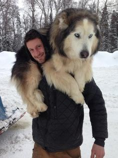 Meet Some of the Top Dogs of the Iditarod - Big Dog - Accesorios para Perros Animals And Pets, Funny Animals, Cute Animals, Huge Dogs, I Love Dogs, Giant Dogs, Beautiful Dogs, Animals Beautiful, Cute Puppies