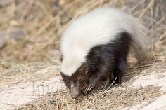 HOG-NOSED SKUNK Skunks (also called polecats in America) are known for their ability to spray a liquid with a strong odor. Description from pinterest.com. I searched for this on bing.com/images