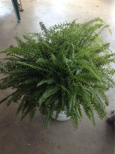 how to make a boston fern go dormant